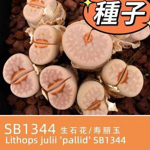 多肉植物 種子 棕唇口紅 寿麗玉SB1344