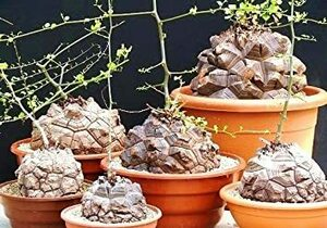 Elephantipes 【多肉植物/種子】Dioscorea Elephantipesディオスコレア◎ハート型の葉が可愛い塊根