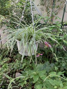 オリズルラン、外白斑葉、丈夫で育てやすいです、5号吊り鉢大株、子株付き、折り鶴蘭、観葉植物