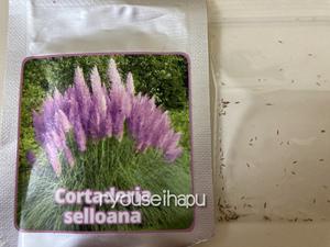 高額・高品質ドイツ産★ふかふか綿毛の『Purple Pampas Grass 』 の種 10粒