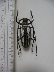 D7 シロスジカミキリムシ類 パプアニューギニア島産 バトケラ 標本 昆虫 甲虫