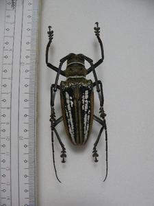 D8 シロスジカミキリムシ類 パプアニューギニア島産 バトケラ 標本 昆虫 甲虫 標本