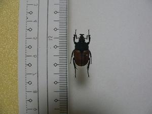 X9 珍品コガネムシ・カナブン類 Ischnostoma stobbiai 南アフリカ産 標本 昆虫 甲虫 標本 昆虫 甲虫