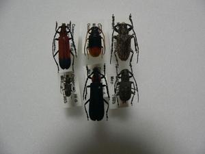 D23 カミキリムシ類6頭 マレーシア・カメロンハイランド産 標本 昆虫 甲虫