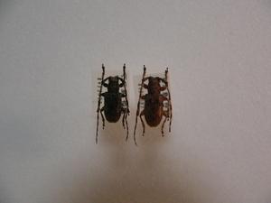 D33 オキナワゴマフカミキリ2頭 石垣島産 標本 昆虫 甲虫