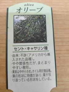 オリーブ苗木 セントキャサリン