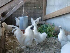 ◆◆烏骨鶏 多産系白烏骨鶏 有精卵 6個 ◆◆[即決] No-2020/-87