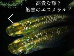 超綺麗グリーン ティアラ 広島プロショップ血統メダカ の有精卵 15個★ めだか 卵 ラメ