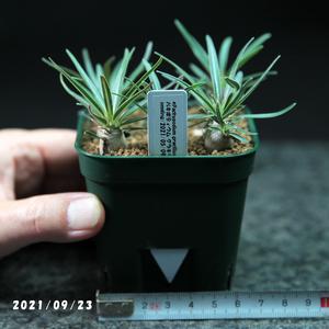 パキポディウム グラキリス 6本 実生苗 Pachypodium gracilius