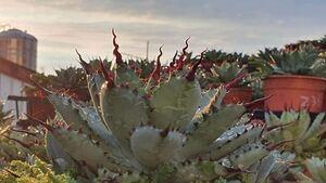 アガベ 超曲棘 八荒雷神 陽炎 マクロアカンサ 八荒殿 #チタノタ agave ハイブリッド