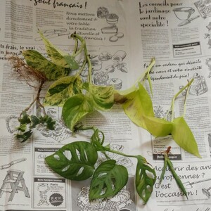 斑入りポトス ポトスライム マドカズラ ヘデラ サンセベリア の お試しセット