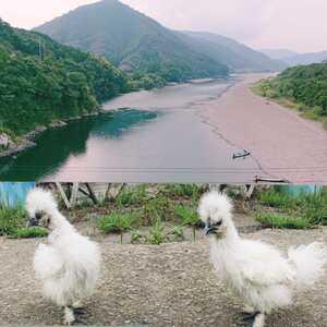 ■■純種烏骨鶏の有精卵⑦個+保証卵①個■■