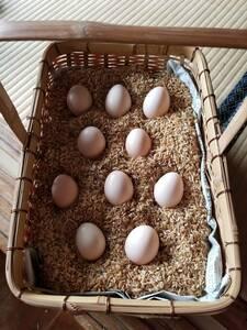 白烏骨鶏 卵8個(割れ保障2個含む) 即決で計10個 有精卵 うこっけい 有精卵 孵化用・食用 産みたて 高栄養 送料無料 格安 お買い得 3Gp
