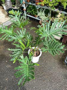 8寸*セローム*観葉植物インテリアグリーンフィロデンドロン