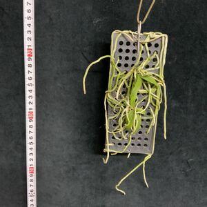 (^。^),洋蘭原種,(307),Chiloschista viridiflava, キロスキスタ ビリディフラバ,代表的な
