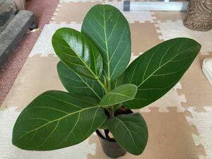 フィカスお手入れ簡単鉢付き観葉植物・苗・班なし