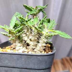 ユーフォルビア トゥレアレンシス コレクション TOKY 塊根植物 多肉植物 希少 パキポディウム グラキリス