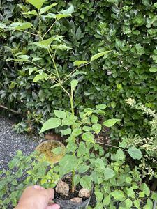 デイゴ 苗 1ポット 検索用【 ヒシバデイゴ アメリカデイゴ 海紅豆 梯梧 観葉植物 熱帯花木 苗 苗木 】