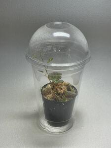 密閉式のプラカップ30個セット ジュエルオーキッドやベゴニアに最適 空気穴を開けてカマキリの幼虫にも