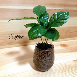 コーヒーの木 ハイドロカルチャー 観葉植物