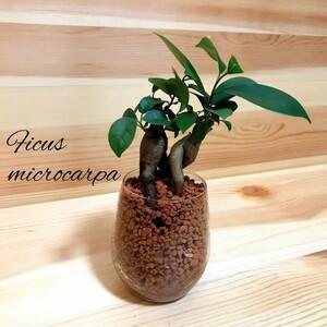 ガジュマル ペア ハイドロカルチャー 観葉植物