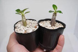 ①★ Pachypodium windsorii x widsorii★パキポディウム ウィンゾリー×ウィンゾリー コーデックス 良型 塊根植物 実生