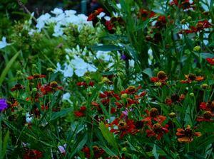 ヘレニウム ダンケルプラント 花の種