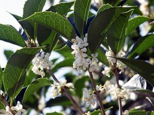 四季咲きモクセイ 0.5m10.5cmポット 1本【1年間枯れ保証】
