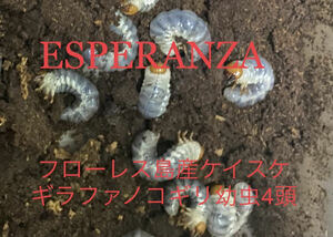 【ESPERANZA】ギラファノコギリクワガタ 大型血統 ケイスケ フローレス島産 初令~2令の幼虫4頭出品です。