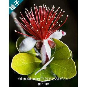 多肉植物 種子 種 フェイジョア/フィジョア Acca Sellowiana パイナップルグアバ フトモモ科 種子10粒