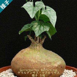 多肉植物 塊根植物 種子 種 Gerrardanthus Macrorhizus ゲラルダンサス マクロリザス 眠り布袋 ウリ科 種子5粒