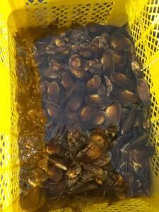 取り置き可能! 北海道産 元気な川真珠貝(カワシンジュガイ)S 10個 4cm~7cm前後