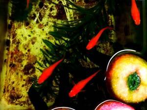 [極上鬼赤]楊貴妃紅帝メダカの有精卵20個+α【期間限定増量中】保証分 めだか スーパーレッド 赤