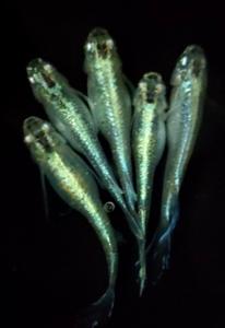 【極上緑光松井ヒレ長めだか】緑光松井ヒレ長メダカの有精卵15個+α(補償分) エメラルドグリーン