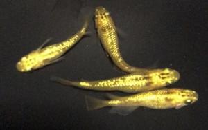 極上黄龍メダカの有精卵15+α(補償分) 黄金 鬼ラメ ゴールド めだか