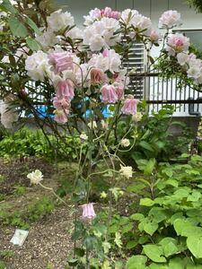 山野草 ピンク色・フリルのオダマキ (12) 種 30粒 自家採取
