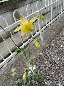 山野草 黄色のオダマキ (14) 種 30粒 自家採取