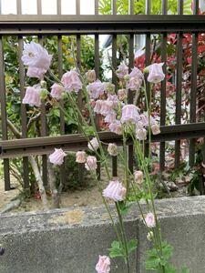 山野草 薄いピンク・フリルのオダマキ ④ 種 30粒 自家採取