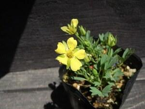 メアカンキンバイ 種子 15粒 北海道固有種 高山植物 山野草