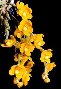 洋蘭原種 (811) Chiloschista nakornpanomensis キロスキスタ ナコーンパノメンシス