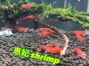 赤い ミナミヌマエビ 稚エビ20匹+α 水草 メダカ 繁殖ビオトープ 赤 アクアリウム 6