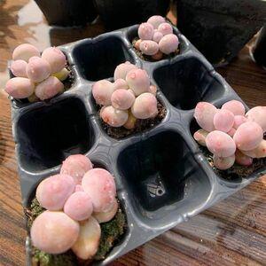 即決価格★農園直売 多肉植物 寄せ植え パキフィツム属 オレンジスノーボール(ミニ) 1株 抜き苗 観葉植物