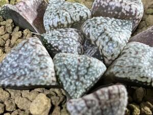 多肉植物 ハオルシア ピクタ実生 剛力×