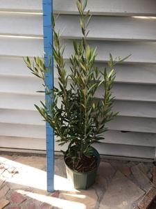 オリーブ ひなかぜ 8号 苗木 鉢植え ガーデン シンボルツリー