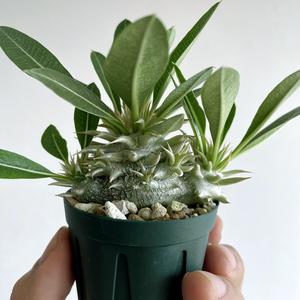 パキポディウム レウコキサンツム?②/ 白花・実生株 // Pachypodium brevicaule var. leucoxanthum, コーデックス, 塊根植物, Caudex
