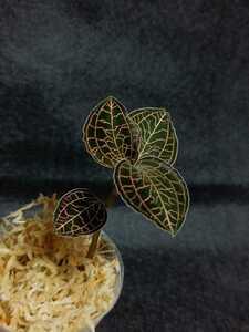 ジュエルオーキッド Anoectochilus roxburghii hayata 'large leaves' アネクトキルス