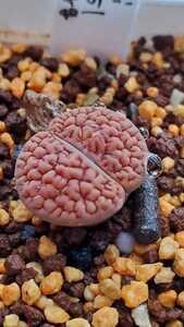 リトープス フーケリー 'バーミキュレートフォーム' C51 種子15粒