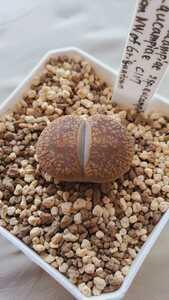 リトープス アウカンピアエ C117 種子15粒