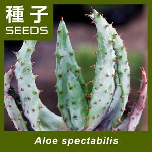 1845アロエ・スペクタビリスAloe spectabilis種子x5鬼王錦