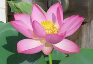 【大賀蓮の種】 花蓮 貴重な古代ハス 《桃色 一重咲き》 大賀ハス 種 5粒 ②